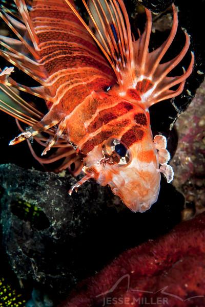 Spotfin Lionfish - Ody's Ridge - Dive #23 of 41