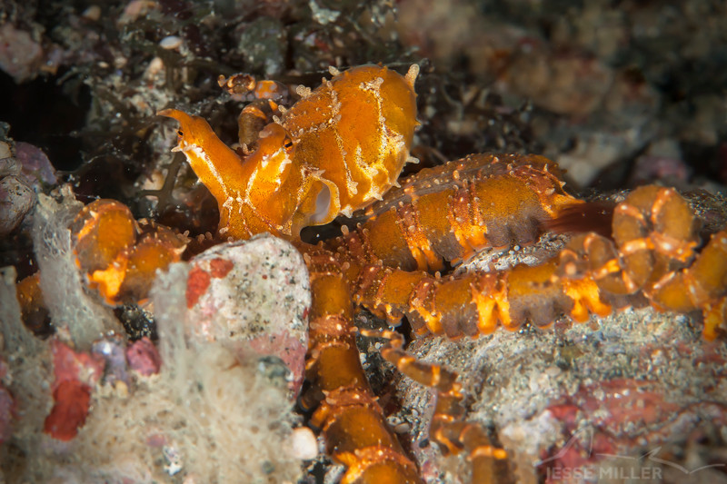 *Wunderpus Octopus - Pulau Dua Reef - Dive #17 of 41