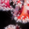 *Translucent Gorgonian Shrimp - Pulau Dua Reef - Dive #7 of 41