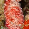 Reticulated Chromodoris Nudibranch - Tanduk - Dive #39 of 41