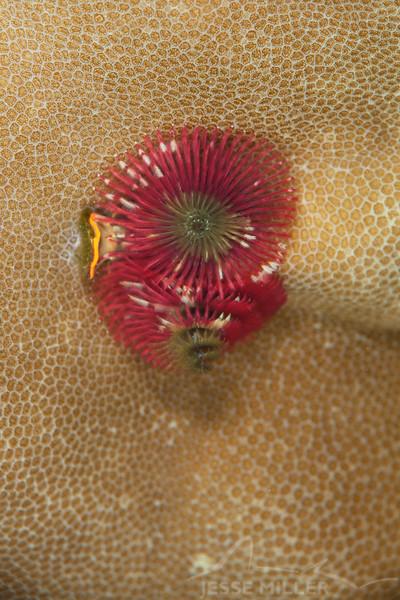 Christmas Tree Worm - Ody's Ridge - Dive #23 of 41