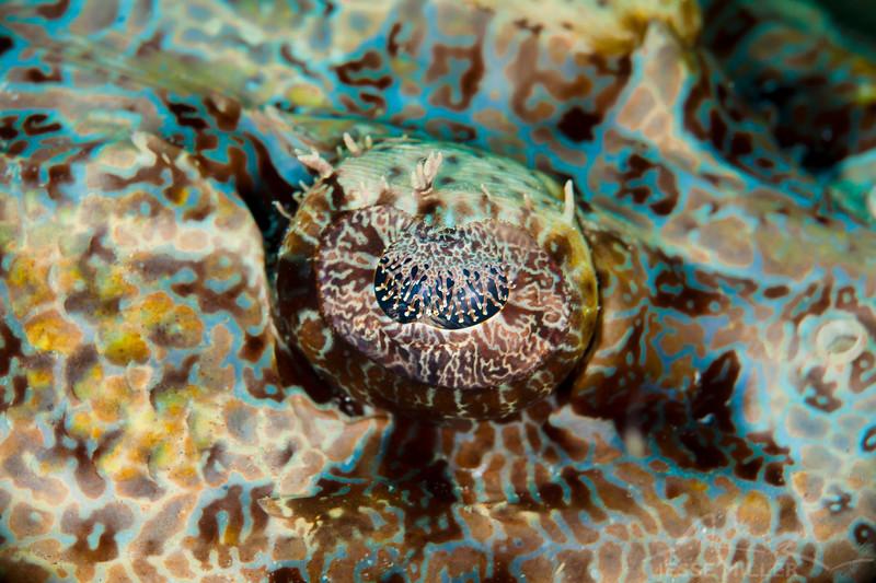 Crocodile Flathead Fish Eye - Ody's Ridge - Dive #23 of 41