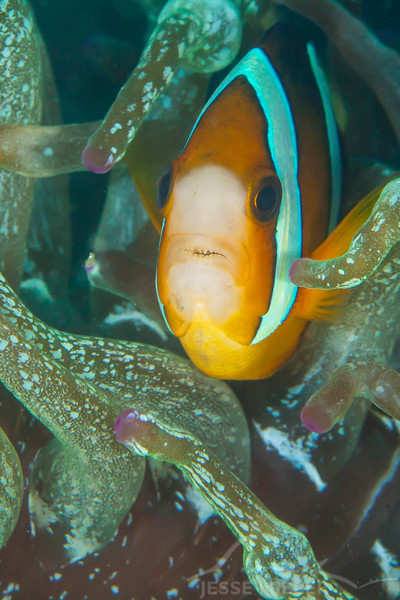 Clark's Anemonefish - Mbelang - Dive #13 of 41