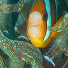 Clark's Anemonefish - Mbelang - Dive #13 of 41