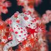 Pygmy Seahorse - Tanduk - Dive #39 of 41