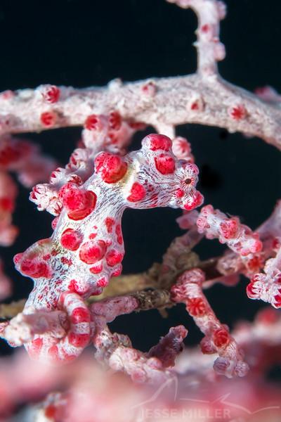 Pygmy Seahorse - Pulau Dua Reef - Dive #35 of 41