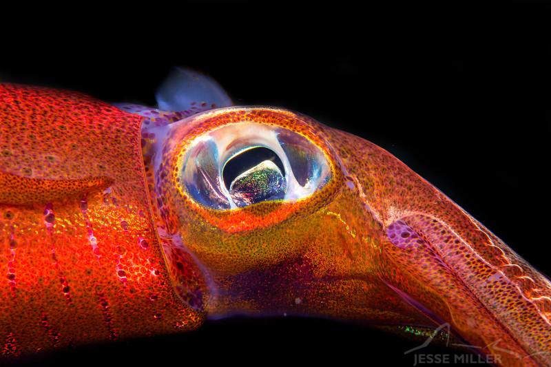 *Flying Squid - Mbelang - Dive #33 of 41