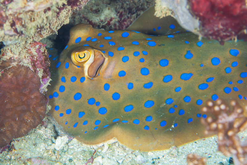 Blue-Spotted Ribbontail Ray - Pulau Dua Reef - Dive #17 of 41