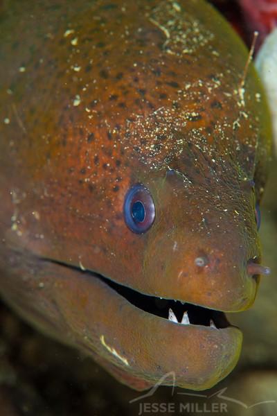 Green Moray Eel - Ody's Ridge - Dive #20 of 41