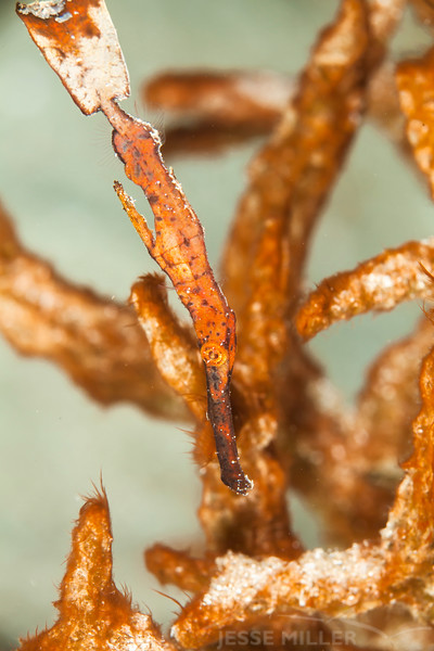Thin Ghost Pipefish - Jenad Side - Dive #4 of 41