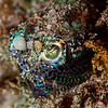 Bobtail Squid - Pulau Dua - Dive #41 of 41
