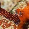 Nembrotha Yonowae Nudibranch - Tanduk - Dive #39 of 41