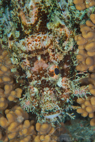 Tasseled Scorpionfish - Mbelang - Dive #33 of 41