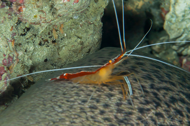White-Banded Cleaner Shrimp - Mbelang - Dive #33 of 41
