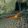 White-Banded Cleaner Shrimp - Mbelang - Dive #33 of 41