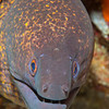 Yellowmargin Moray Eel - Entre 2 Mers II - Dive #3 of 41