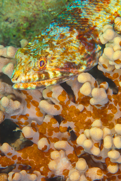 Reef Lizardfish - Mbelang - Dive #13 of 41