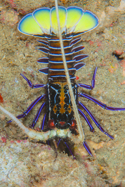 Painted Spiny Lobster - Pulau Dua - Dive #41 of 41