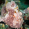 *Painted Frogfish - Pulau Dua Reef - Dive #6 of 41
