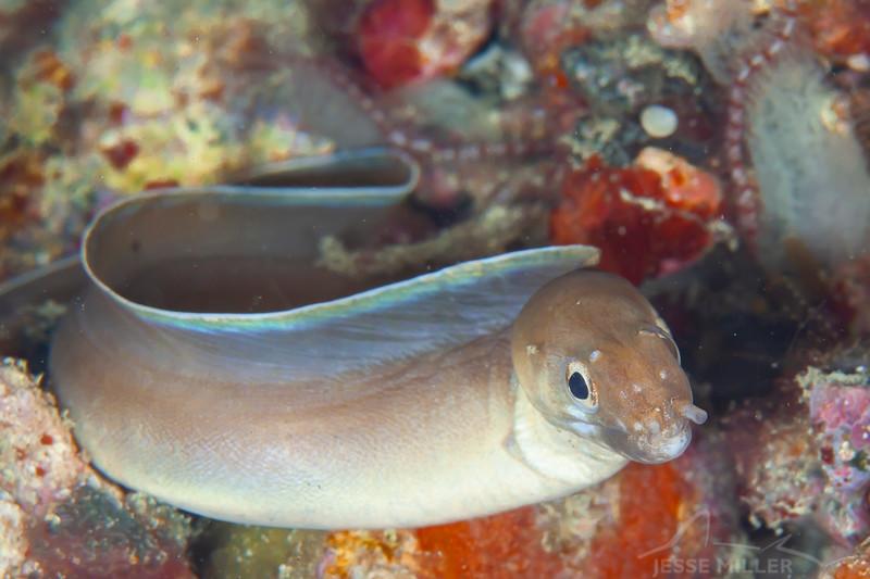 White-Margined Moray Eel - Pulau Dua Reef - Dive #7 of 41