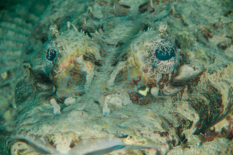 Crocodile Flathead Fish - Pulau Dua - Dive #29 of 41