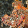 *Spiny Devilfish Scorpionfish - Pulau Dua - Dive #29 of 41