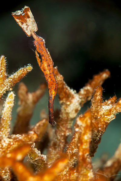 *Thin Ghost Pipefish - Jenad Side - Dive #4 of 41