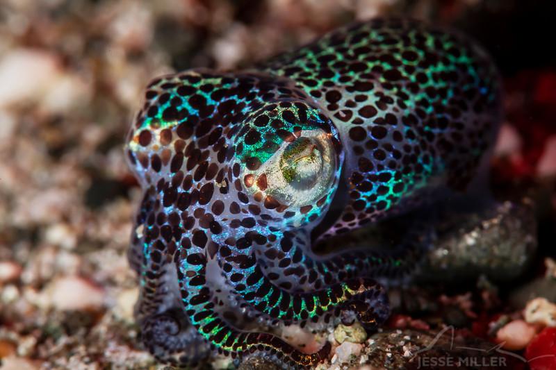 *Bobtail Squid - Pulau Dua - Dive #41 of 41
