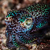 *Bobtail Squid - Pulau Dua - Dive #41 of 41