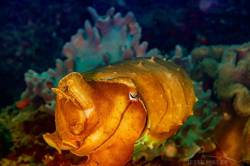 Broadclub Cuttlefish - Pulau Dua Reef - Dive #17 of 41