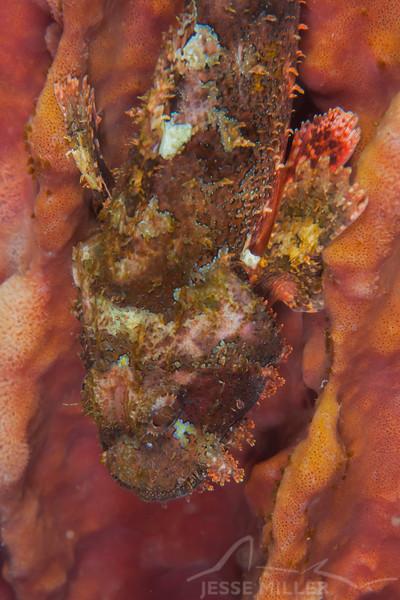 Tasseled Scorpionfish - Solan Reef - Dive #5 of 41