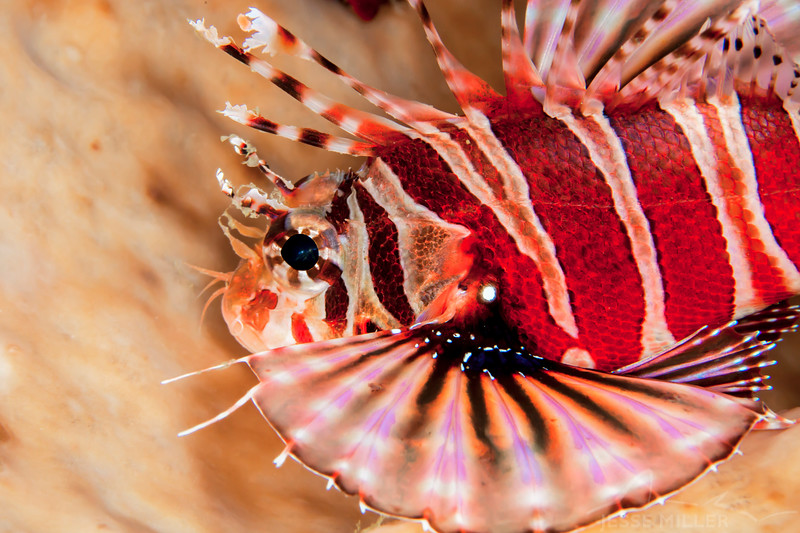 Spotfin Lionfish - Entre 2 MERS III - Dive #26 of 41