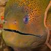 Green Moray Eel - Solan Reef - Dive #5 of 41