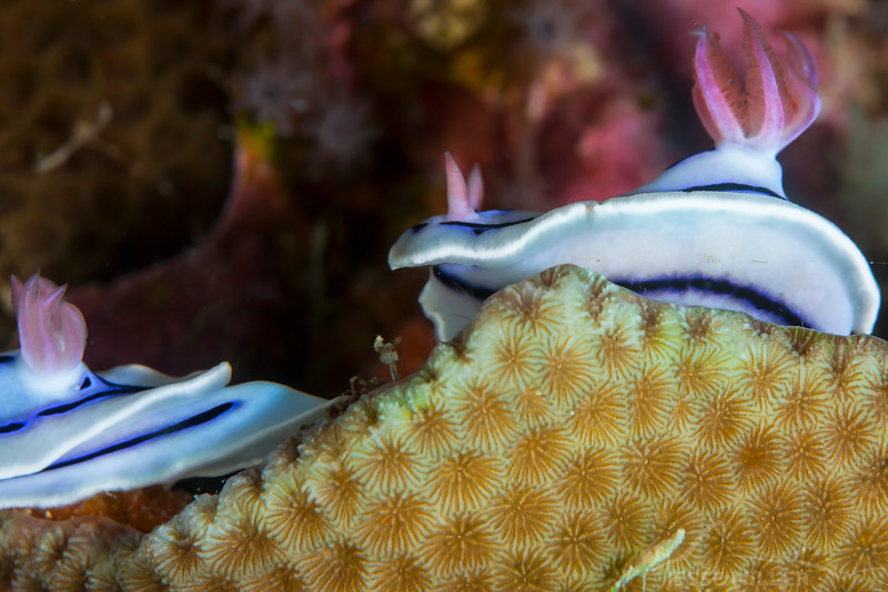 Loch's Chromodoris Nudibranch - Smile Point - Dive #10 of 41