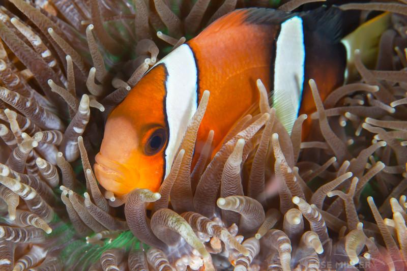 Clark's Anemonefish - Mbelang - Dive #33 of 41