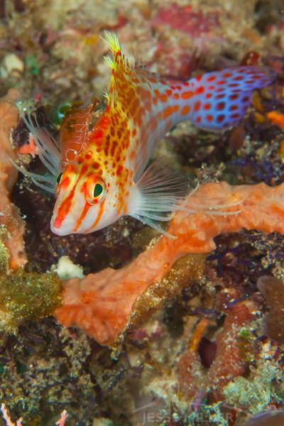 Pixy Hawkfish - Coliina Slope 3 - Dive #12 of 41