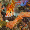 Pixy Hawkfish - Coliina Slope 3 - Dive #12 of 41