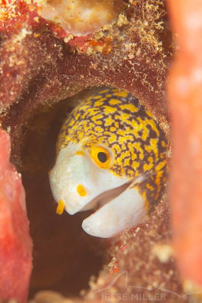 Snowflake Moray Eel - Ody's Ridge - Dive #34 of 41
