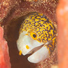 Snowflake Moray Eel - Ody's Ridge - Dive #34 of 41