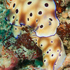 Leopard Chromodoris Nudibranch - Coliina Slope 2 - Dive #27 of 41