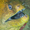 Green Moray Eel - Mbelang - Dive #33 of 41