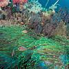 *Pink Anemonefish - Batu Tetek - Dive #15 of 41