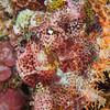 Tasseled Scorpionfish - Jenad Side - Dive #4 of 41