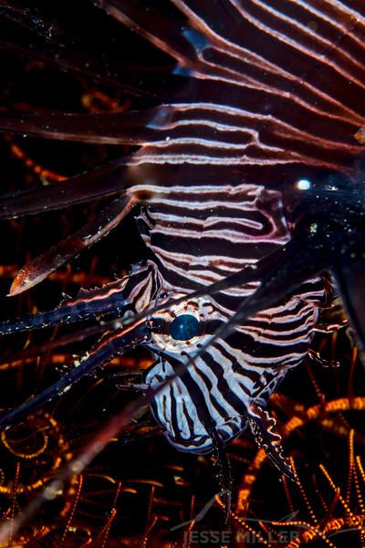 Indian Lionfish - Mbelang - Dive #13 of 41
