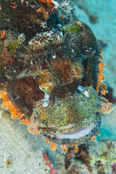 Tasseled Scorpionfish - Entre 2 MERS II - Dive #22 of 41