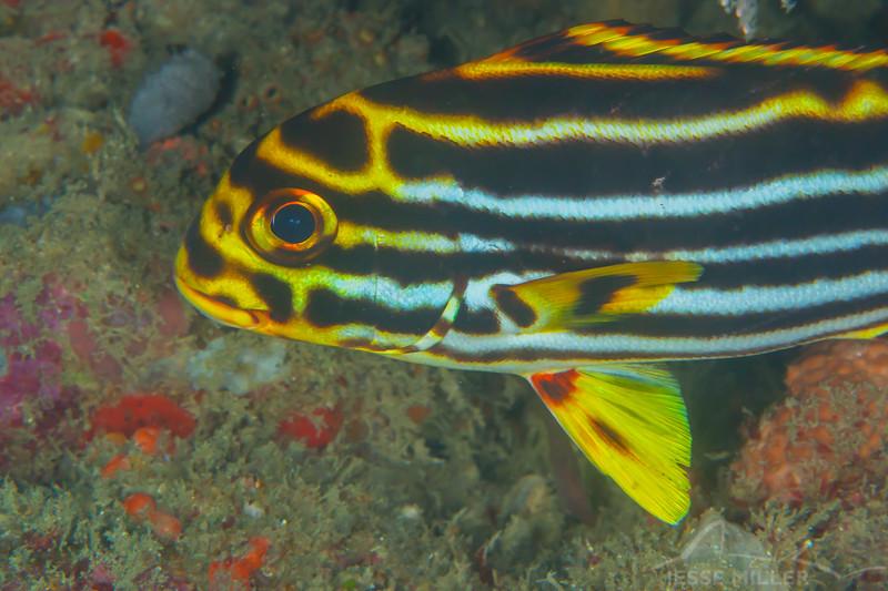 Oriental Sweetlips - Solan Reef - Dive #31 of 41