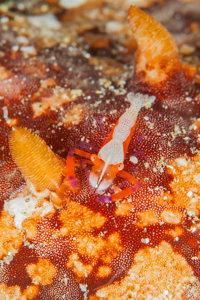 Emperor Shrimp on Nudibranch - Pulau Dua Reef - Dive #29 of 41