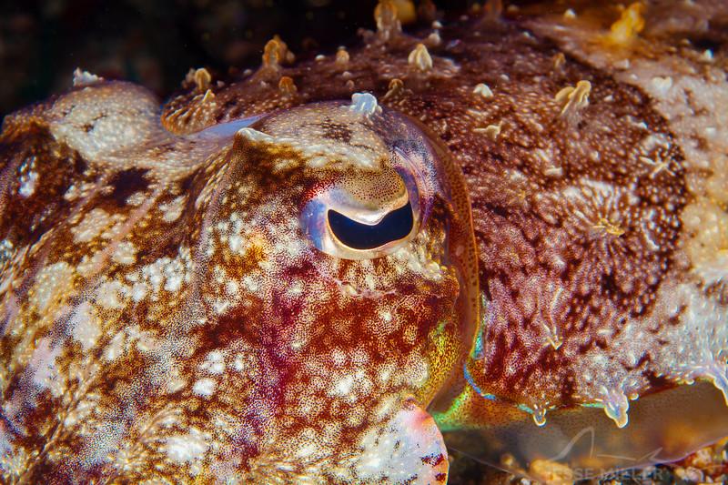 Broadclub Cuttlefish - Pulau Dua Reef - Dive #7 of 41