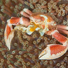 Spotted Porcelain Crab - Pulau Dua Reef - Dive #37 of 41