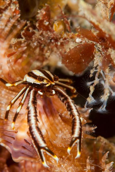 Elegant Crinoid Squat Lobster - Pulau Dua Reef - Dive #37 of 41